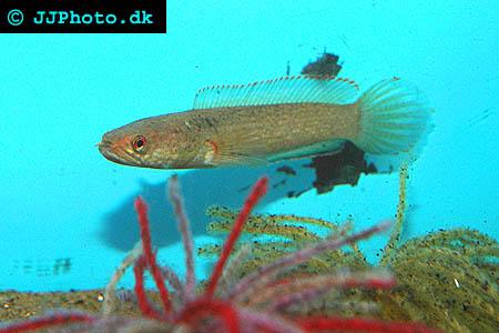 Munruvande ormhuvudsfisk