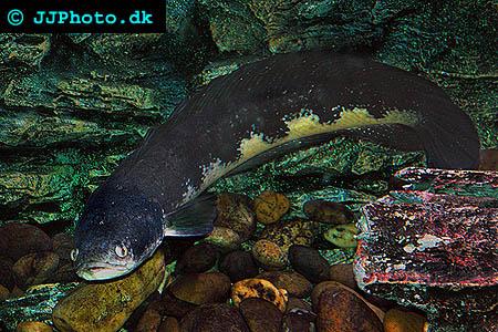 vuxen ormhuvudsfisk
