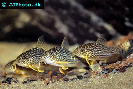 Sterbas pansarmal - Corydoras sterbai