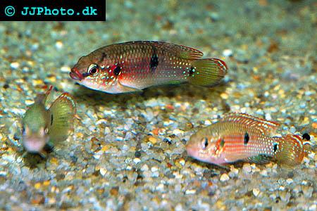 Röd ciklid  hemichromis bimaculatus