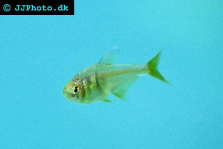 Riotetra - Hyphessobrycon flammeus picture