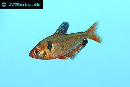 Serpae Tetra - Hyphessobrycon serpae