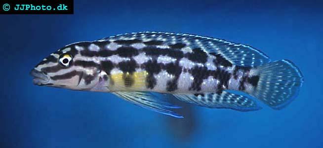 cavity brooder julidochromis marlieri