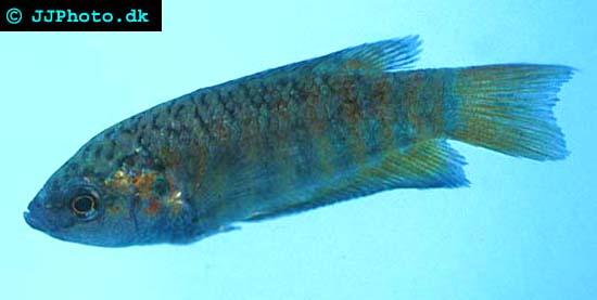 Paradisfisk, makropod