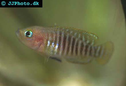 Snäcklekande Tanganyikaciklid neolamprologus multifasciatus