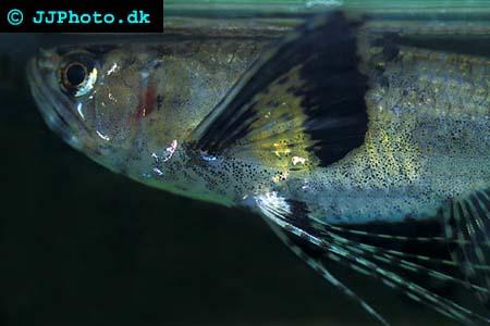 Afrikansk Fjärilsfisk