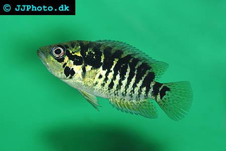 Parachromis loiselle