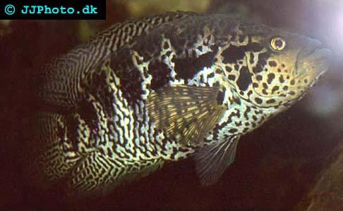 Parachromis managuensis - Jaguarciklid
