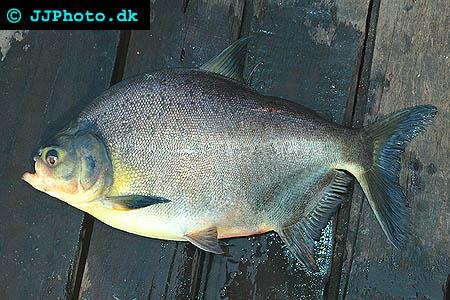 Silverpaku - Piaractus brachypomus picture
