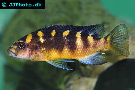 Pseudotropheus crabro – En Malawi Ciklid