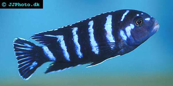 Demasoni Ciklid  - Pseudotropheus demasoni bild