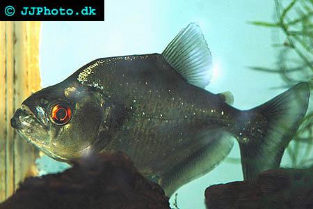 Vit Piraya - Serrasalmus rhombeus picture
