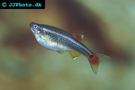 Kardinalfisk -