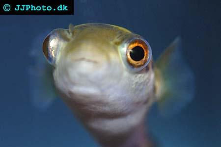 Grönkulfisk  - Tetraodon fluviatilis picture