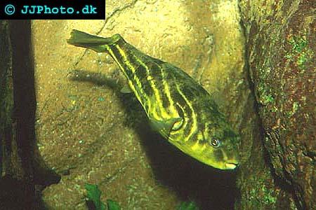 Tetraodon lineatus