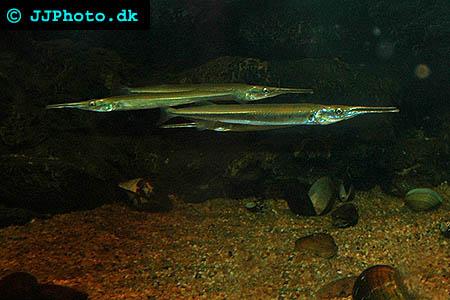 Freshwater garfish - Xenentodon cancila picture