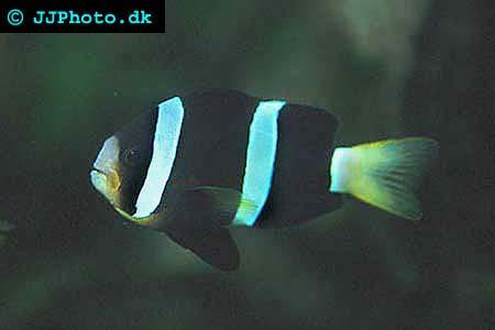 svart/clarki clownfisk