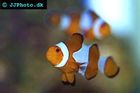 percual clownfish picture