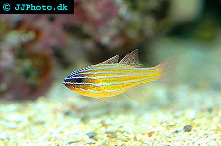 Apogon cyanosoma, Gullinje kardinalfisk