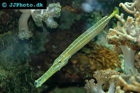 Aulostomus chinensis, Kinesisk trumpetfisk