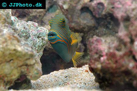 Balistapus undulatus foto
