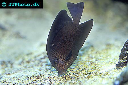 Ctenochaetus hawaiiensis, Gul kirurgfisk