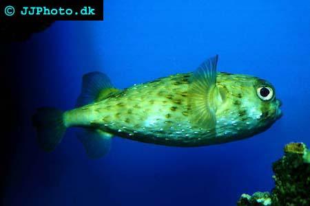 diodon hystrix - Piggsvinsfiskar