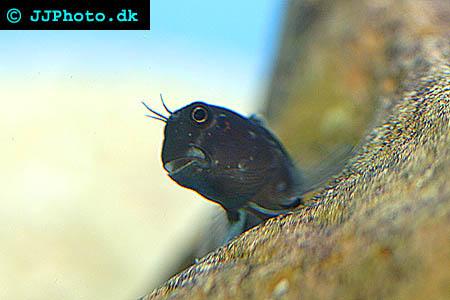 bild av Tvåfärgad blennid (Ecsenius bicolor)