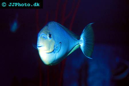 Naso brevirostris, Fläckig enhörningsfisk