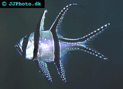 Pterapogon kauderni bild