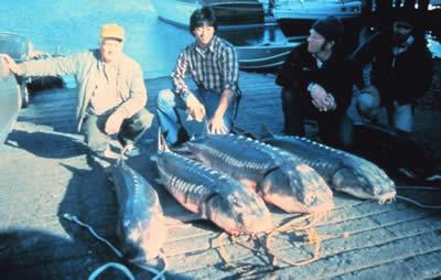sturgeon Russia has proposed a five year long ban on fishing sturgeon in the Caspian Sea