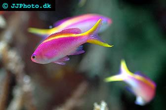 На счет последних, то это воистину золотые рыбки Красного моря.