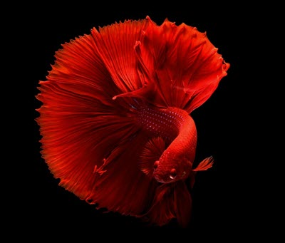 Betta fish, a popular tropical fish species