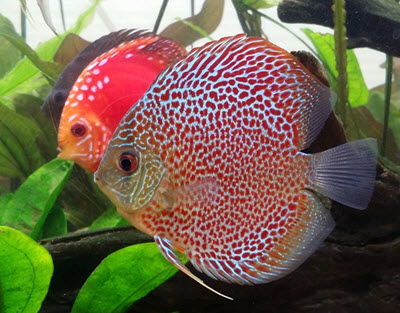 tropical discus fish