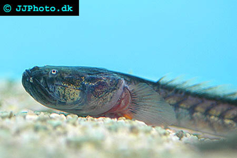 Dragon Goby / Violet Goby