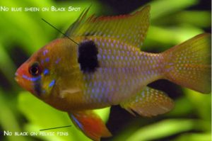 Fish of the day: German Blue Ram