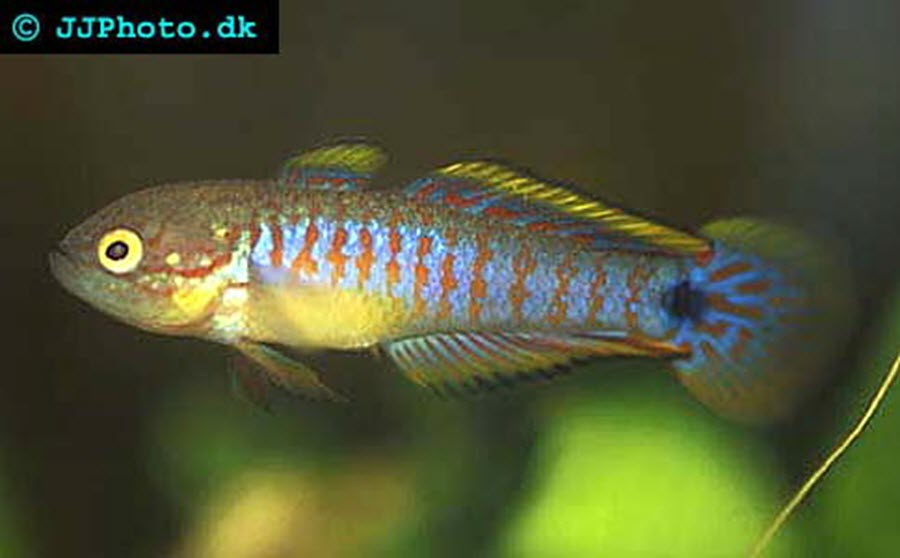 Peacock goby